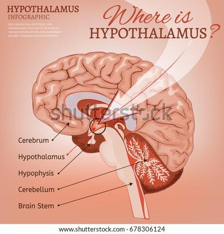 Anatomy of hypothalamus