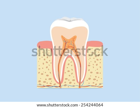Illustration about tooth anatomy in flash design version - stock vector