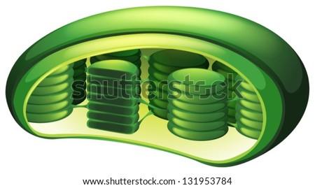 Illustration of a chloroplast - stock vector