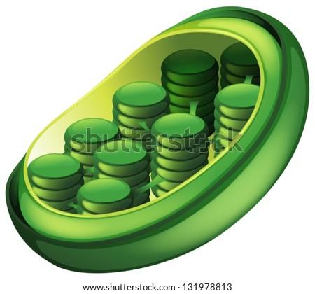 Chloroplast Stock Images  RoyaltyFree Images   Vectors