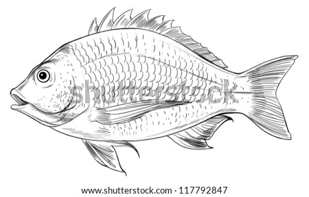 Illustration of an Acanthopagrus butcheri on a white background