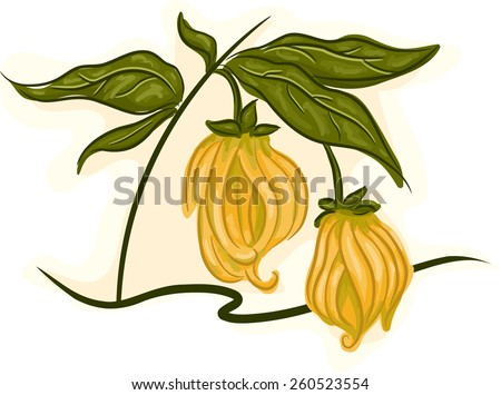 Illustration of an Ylang-ylang Stalk with Flowers in Full Bloom