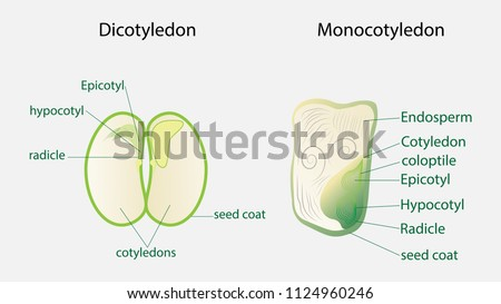 Illustration Biology Seed Plant Diagram Stock Photo Photo Vector