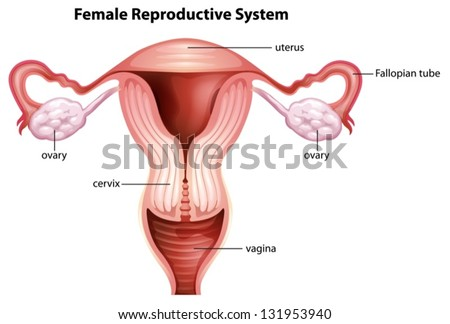 female reproductive system stock photos images. Black Bedroom Furniture Sets. Home Design Ideas