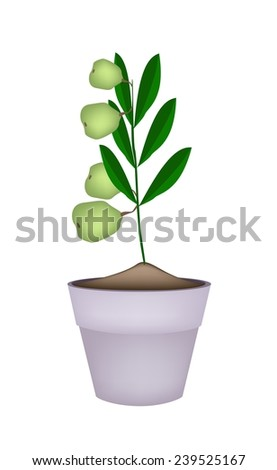 Illustration of Fresh Green Walnuts on Tree in Terracotta Flower Pots, Good Source of Dietary Fiber, Vitamins and Minerals.
