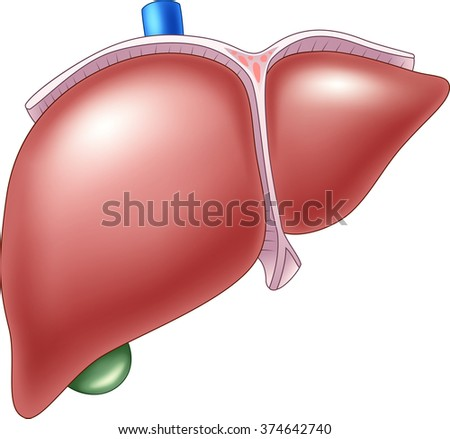 Illustration of Human Liver Anatomy