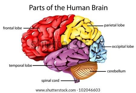 Brain Parts Stock Images, Royalty-Free Images & Vectors | Shutterstock