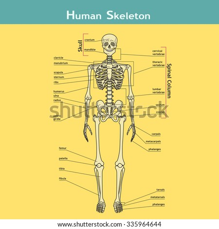 Illustration of skeletal system with labels. Human Skeleton. Vector illustration. Didactic board of human bony system.