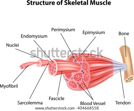 Muscle Stock Images, Royalty-Free Images & Vectors ...