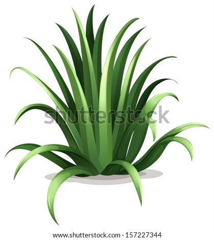 Illustration of the agave bracteosa on a white background - stock vector