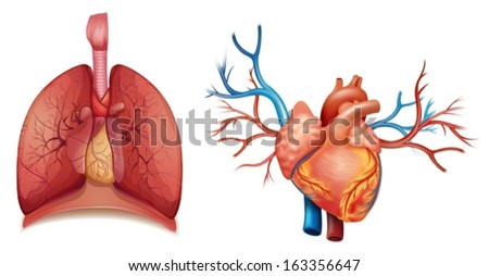 Illustration of the heart organ on a white background