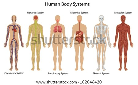 Illustration of the human body systems - stock vector