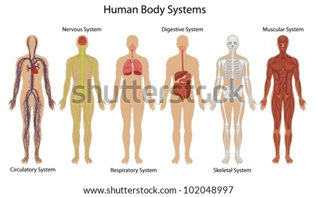 nervous system stock images, royalty-free images & vectors, Muscles