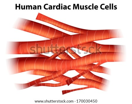 growth factor regenerates heart cells in mice | worldhealth, Muscles