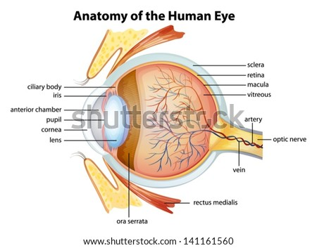 Anatomy stock images royalty free images vectors shutterstock illustration of the human eye anatomy ccuart Gallery