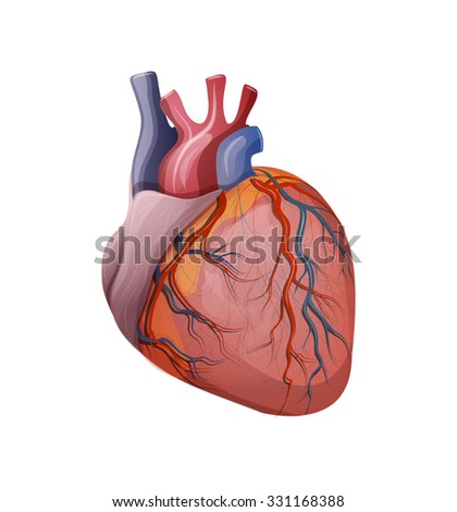 ILLUSTRATION of the human heart.