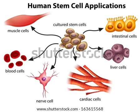 Illustration of the Human Stem Cell Applications on a white background - stock vector