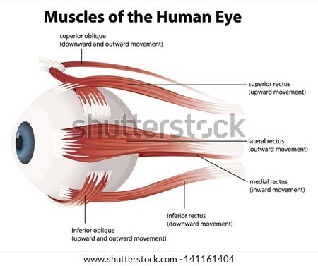 Illustration of the muscles of the human eye - stock vector