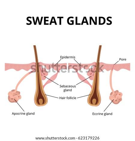 sweat pore diagram