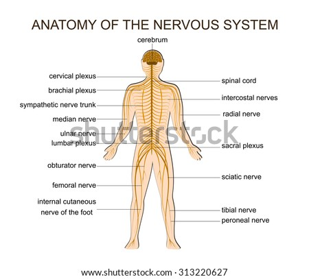 human nervous system stock images, royalty-free images & vectors, Cephalic Vein