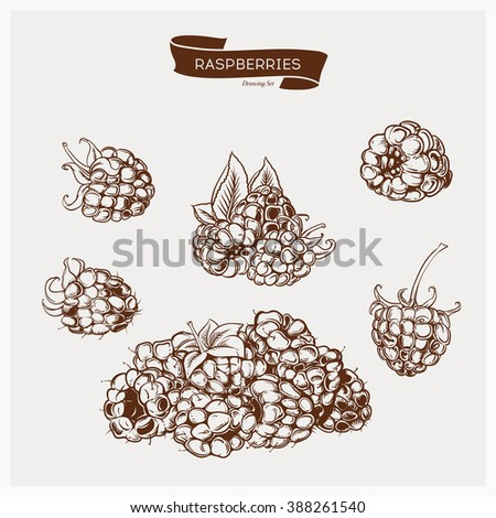Illustration set of drawing raspberry. Hand draw illustration set for design. Vector engraving drawing antique illustration of raspberry with leafs. - stock vector