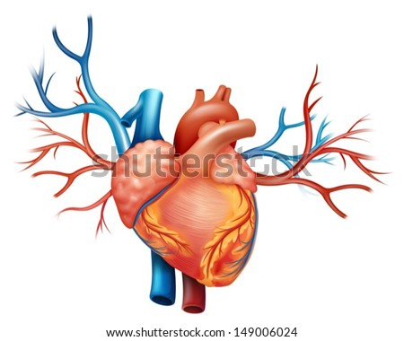 Illustration showing the heart - stock vector