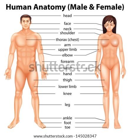 Body Parts Penis 33