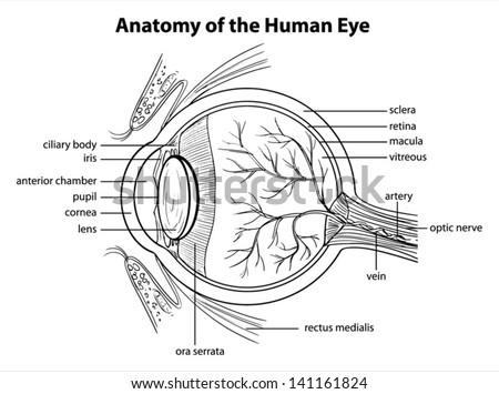 Illustration showing the human eye - stock vector