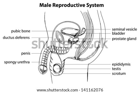 male reproductive system outline