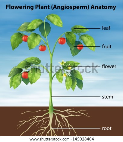 Illustration showing the parts of a tomato plant - stock vector