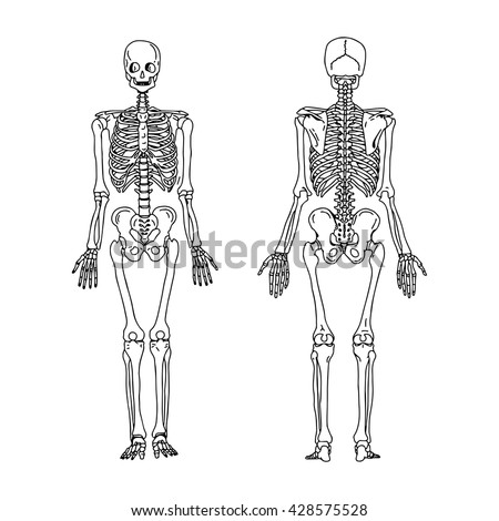 anatomical drawing stock images, royalty-free images & vectors, Skeleton