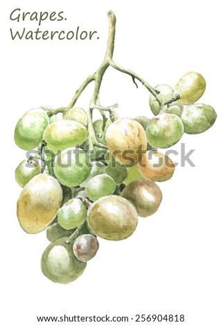 Illustration with colored grapes. Watercolor. Hand drawn. - stock vector