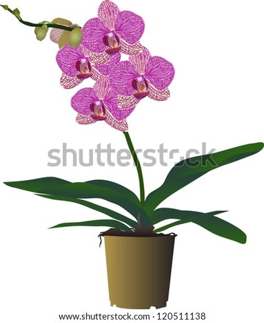 illustration with pink orchid flowers isolated on white background