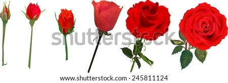 illustration with red rose flower blossoming stages isolated on white background - stock vector
