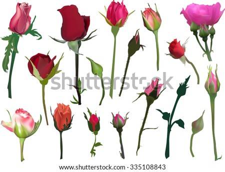illustration with rose buds isolated on white background