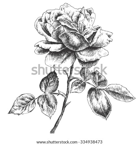 Illustration with rose. Vector. Hand drawn.