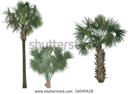 illustration with three palm trees isolated on white background - stock vector