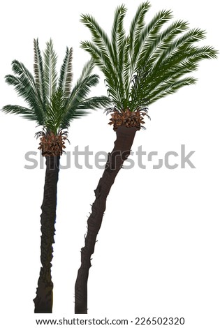 illustration with two palm trees isolated on white background - stock vector