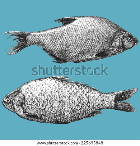illustration with  two realistic fish (Abramis brama, Carassius)  - stock vector