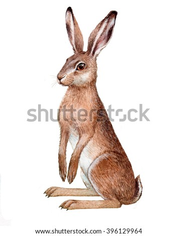 illustration with watercolor on paper. Isolated European hare - stock vector