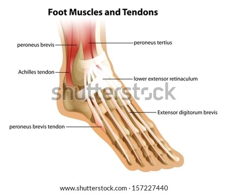 Illustrattion of the foot muscles and tendons on a white background - stock vector