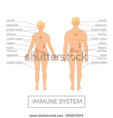 Immune system of a human. Cartoon vector illustration for medical atlas or educational textbook. Male and female physiology. - stock vector