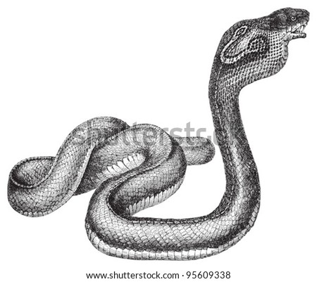 Indian Cobra (Naja naja) / vintage illustration from Meyers Konversations-Lexikon 1897 - stock vector