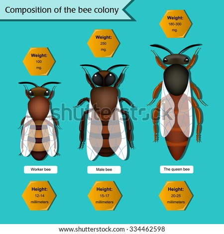 Information poster on the composition of the bee colony. Beekeeping infographics. - stock vector