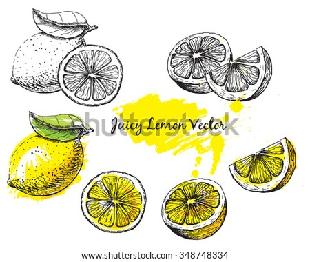 Ink drawing of a lemon in black and white and colour, each image is separate, easy to edit - stock vector