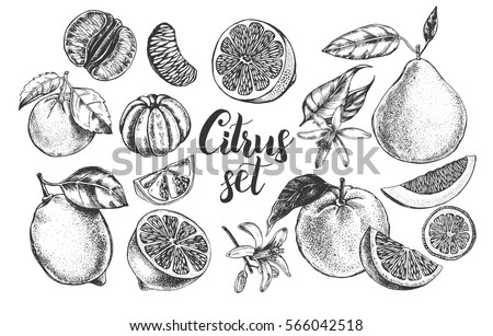 Ink hand drawn set of different kinds of citrus fruits. Food elements collection for design, Vector illustration.