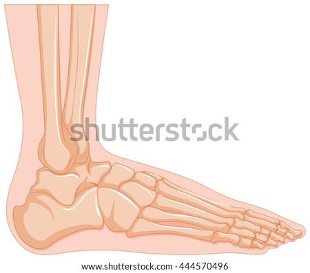 Inside Human Foot Bone Illustration Stock Vector 444570496 ...