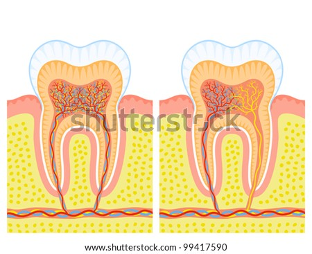 Internal structure of tooth - stock vector