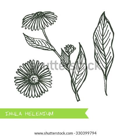 inula helenium siberian herbs handdrawn illustration health and nature set