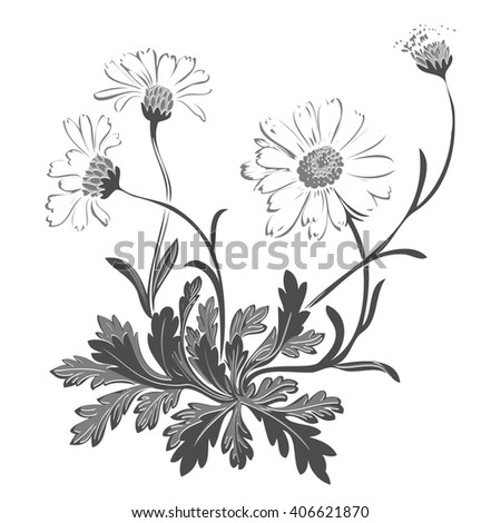 Isolated blooming meadow flower form print natural outline floral white spring ornament monochrome petal organic leaf vector holiday botanic summer graphic blossom drawing black daisies chamomile stem - stock vector